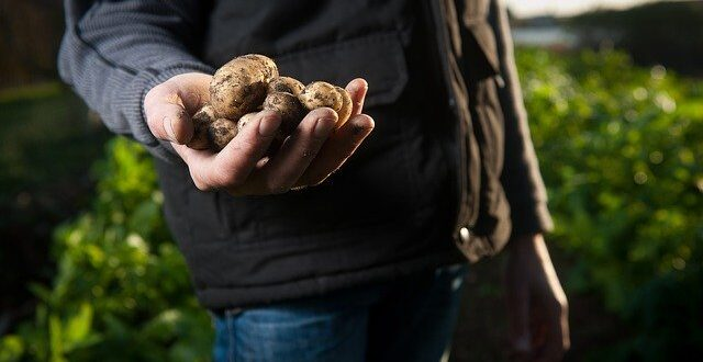 persona cosechando patatas